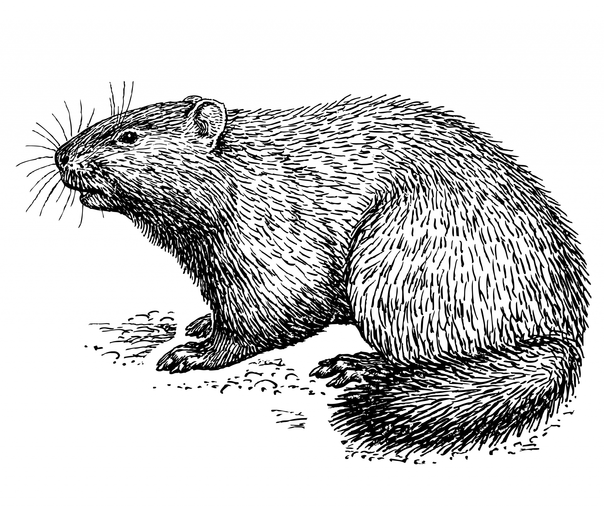 Woodchuck clipart black and white banner stock Groundhog,woodchuck,whistle pig,animal,line art - free photo ... banner stock