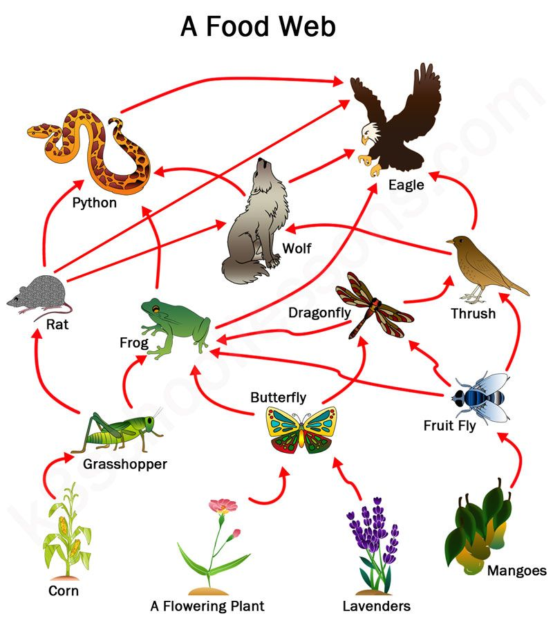 Www vtaide com clipart foodchains htm clip royalty free Food Chains and Food Webs   Education Creation   Ks2 science ... clip royalty free