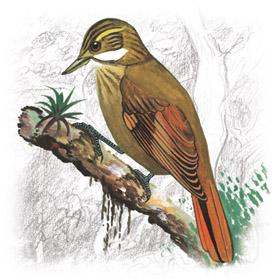 Xenops clipart clipart stock Plain Xenops (Xenops minutus) – Planet of Birds clipart stock