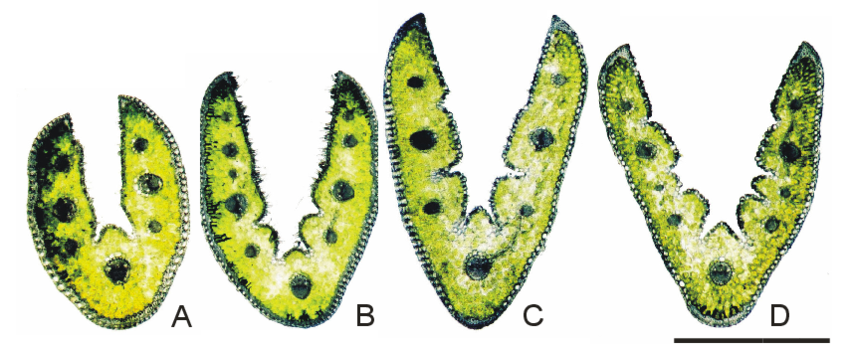Xerothermic clipart clipart Cross-sections of Festuca trachyphylla from different ... clipart
