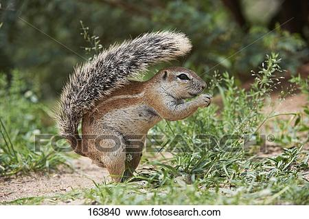Xerus squirrel clipart vector freeuse download Free Squirrel Clipart xerus, Download Free Clip Art on Owips.com vector freeuse download