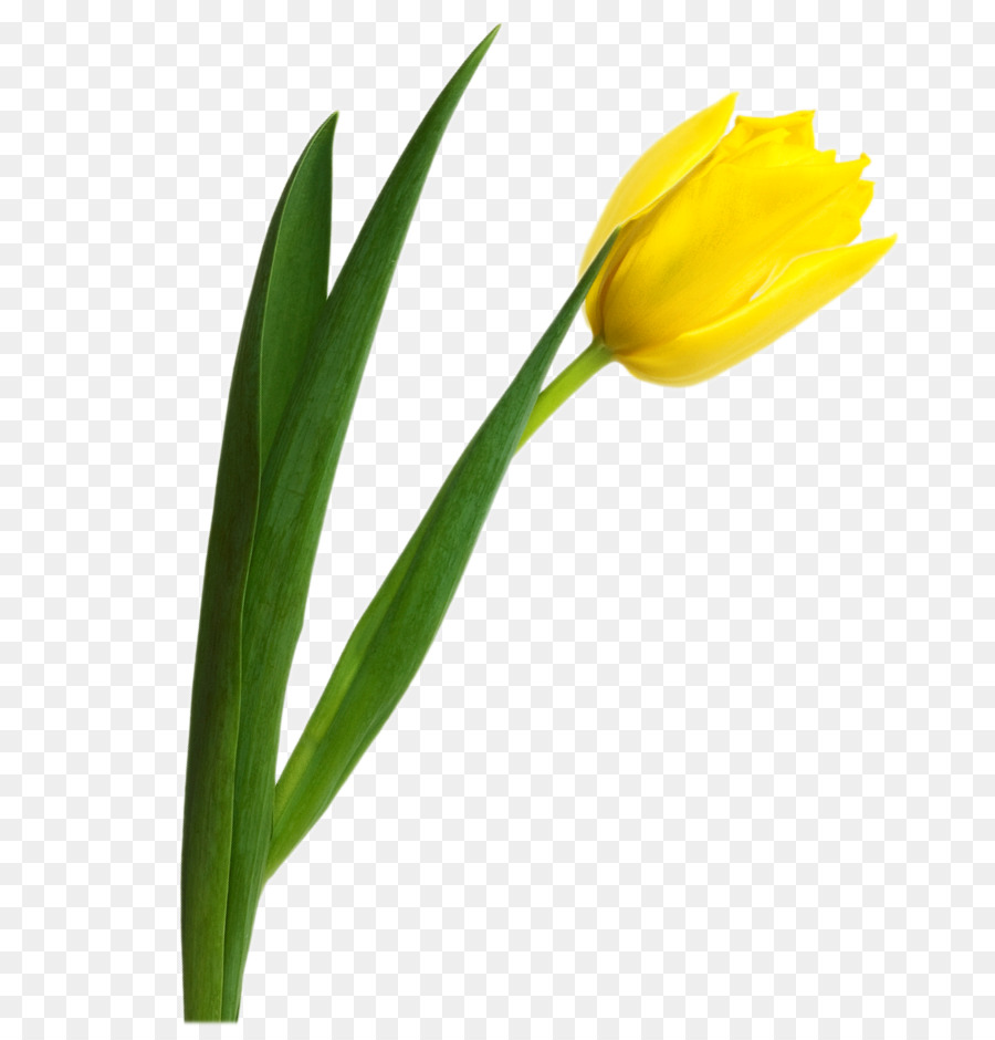 Yello tulip clipart image transparent library Flowers Clipart Background clipart - Tulip, Yellow, Flower ... image transparent library