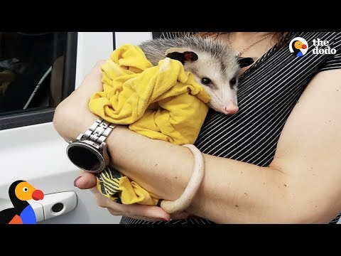 Yellow baby oppossum clipart png download Woman Rescues Possum And Raises Him Like Her Own | The Dodo ... png download