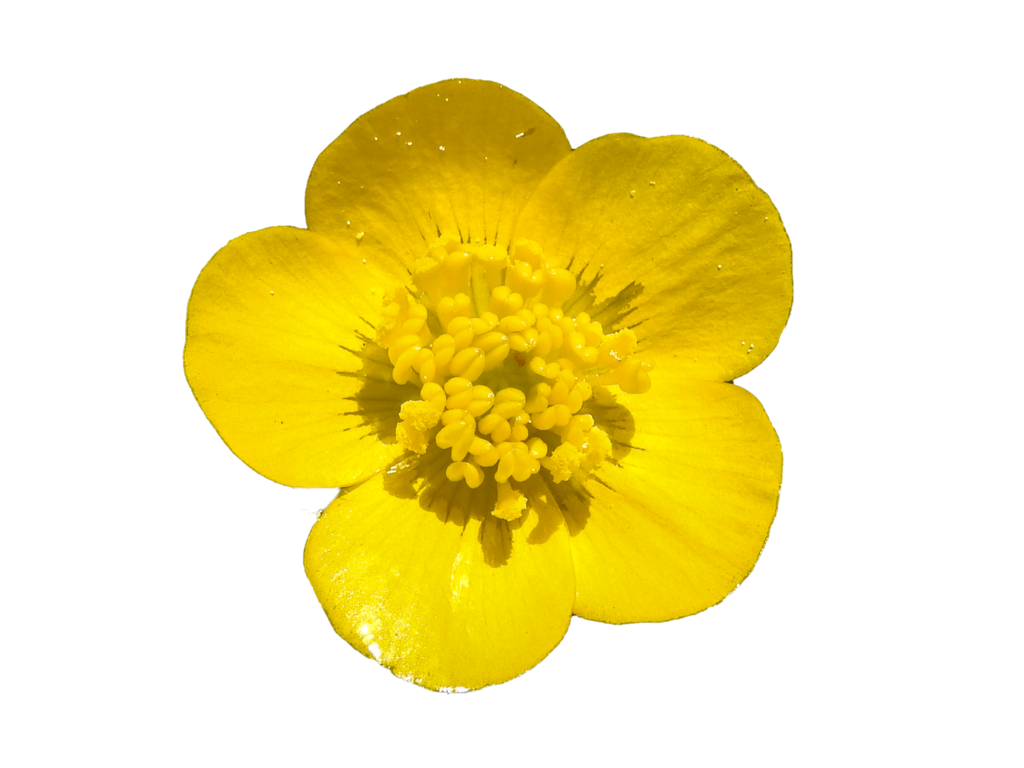 Yellow buttercups free png clipart vector free Pics of buttercup flowers clipart images gallery for free ... vector free
