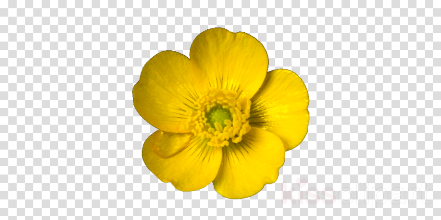 Yellow buttercups free png clipart picture library Flowers Clipart Background clipart - Flower, Yellow, Plant ... picture library