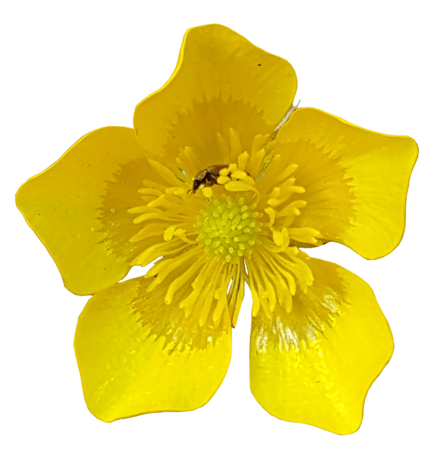 Yellow buttercups free png clipart clipart freeuse download Buttercup flower pictures clipart images gallery for free ... clipart freeuse download