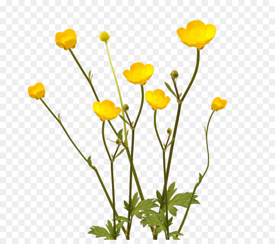 Yellow buttercups free png clipart clipart transparent download Bouquet Of Flowers clipart - Flower, Plants, Yellow ... clipart transparent download