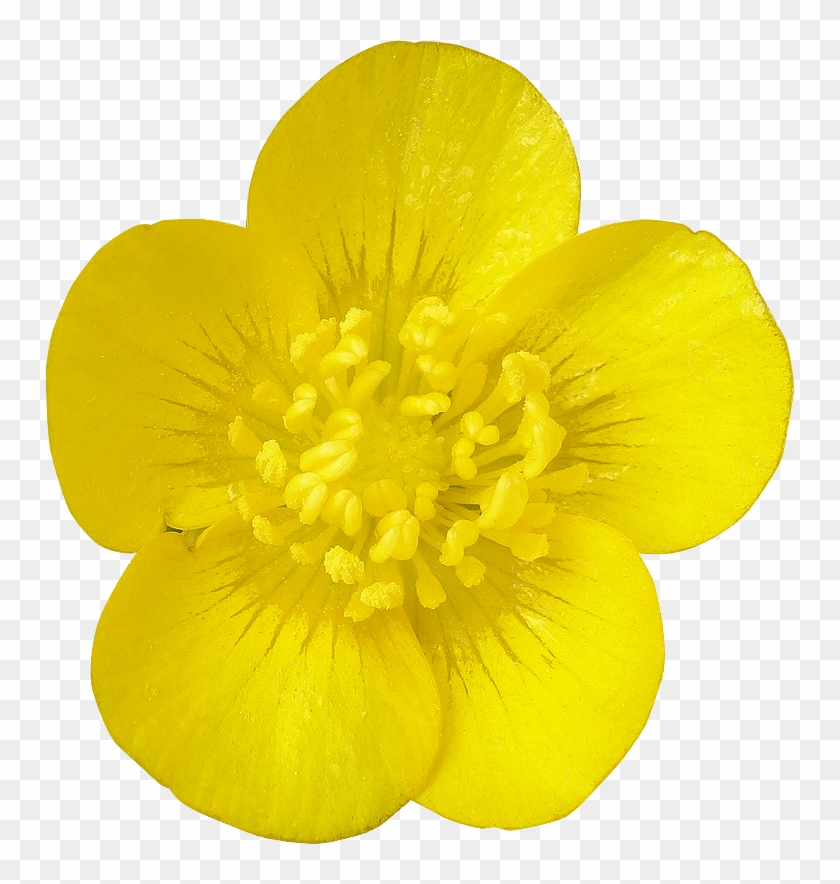 Yellow buttercups free png clipart picture freeuse library Fleur27 Photogriffo - Buttercup Flower Png, Transparent Png ... picture freeuse library
