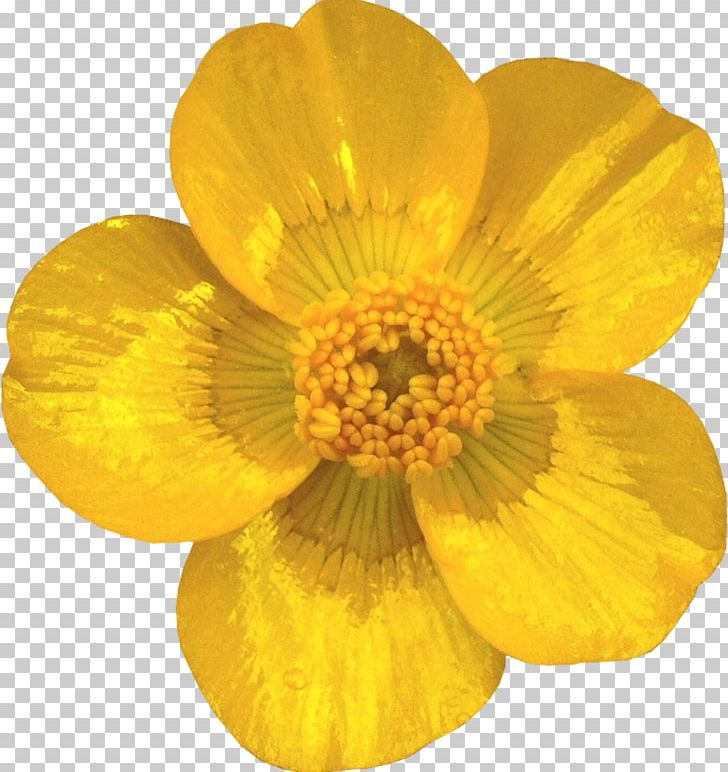 Yellow buttercups free png clipart stock Cut Flowers Petal Buttercup Transvaal Daisy PNG, Clipart ... stock