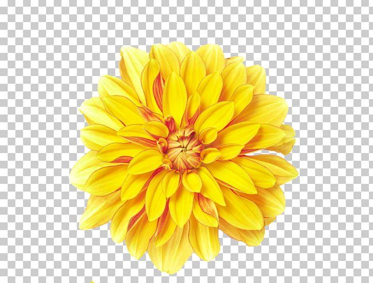 Yellow chrysanthemum clipart png royalty free Flower Yellow Chrysanthemum Xd7grandiflorum PNG, Clipart ... png royalty free