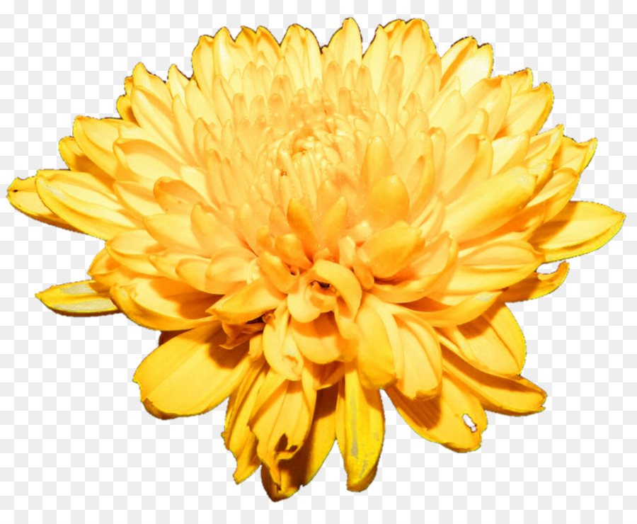 Yellow chrysanthemum clipart clip royalty free library Flowers Clipart Background png download - 995*803 - Free ... clip royalty free library