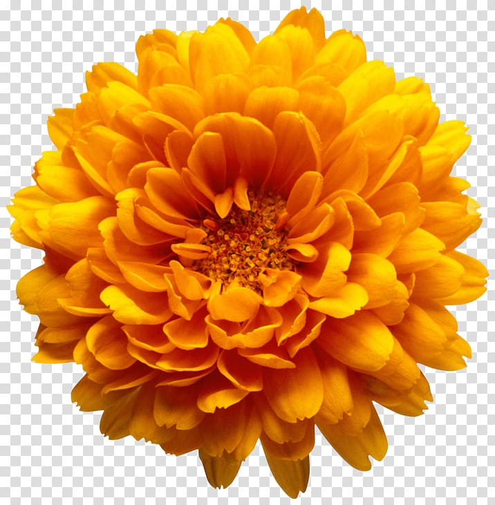 Yellow chrysanthemum clipart banner black and white download Yellow marigold flower illustration, Marriage Make Up ... banner black and white download