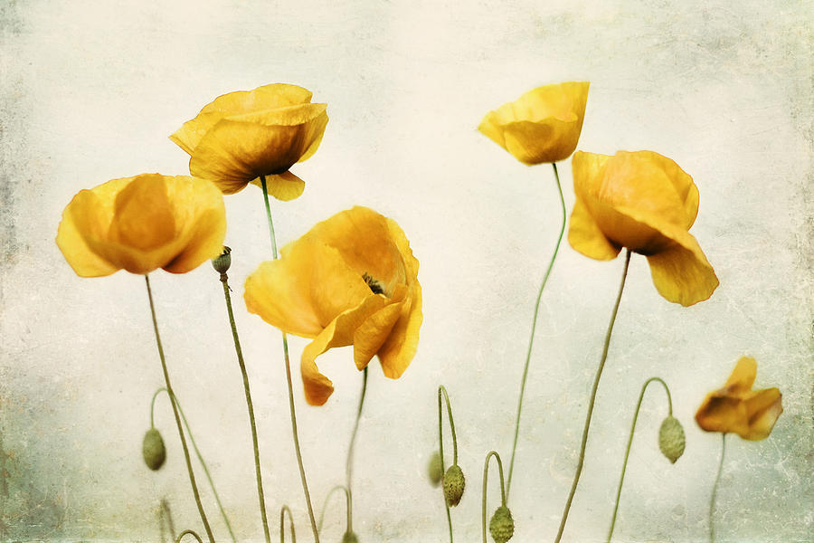 Yellow flower artwork png transparent library Yellow Poppy Photography - Yellow Poppies - Yellow Flowers - Olive ... png transparent library
