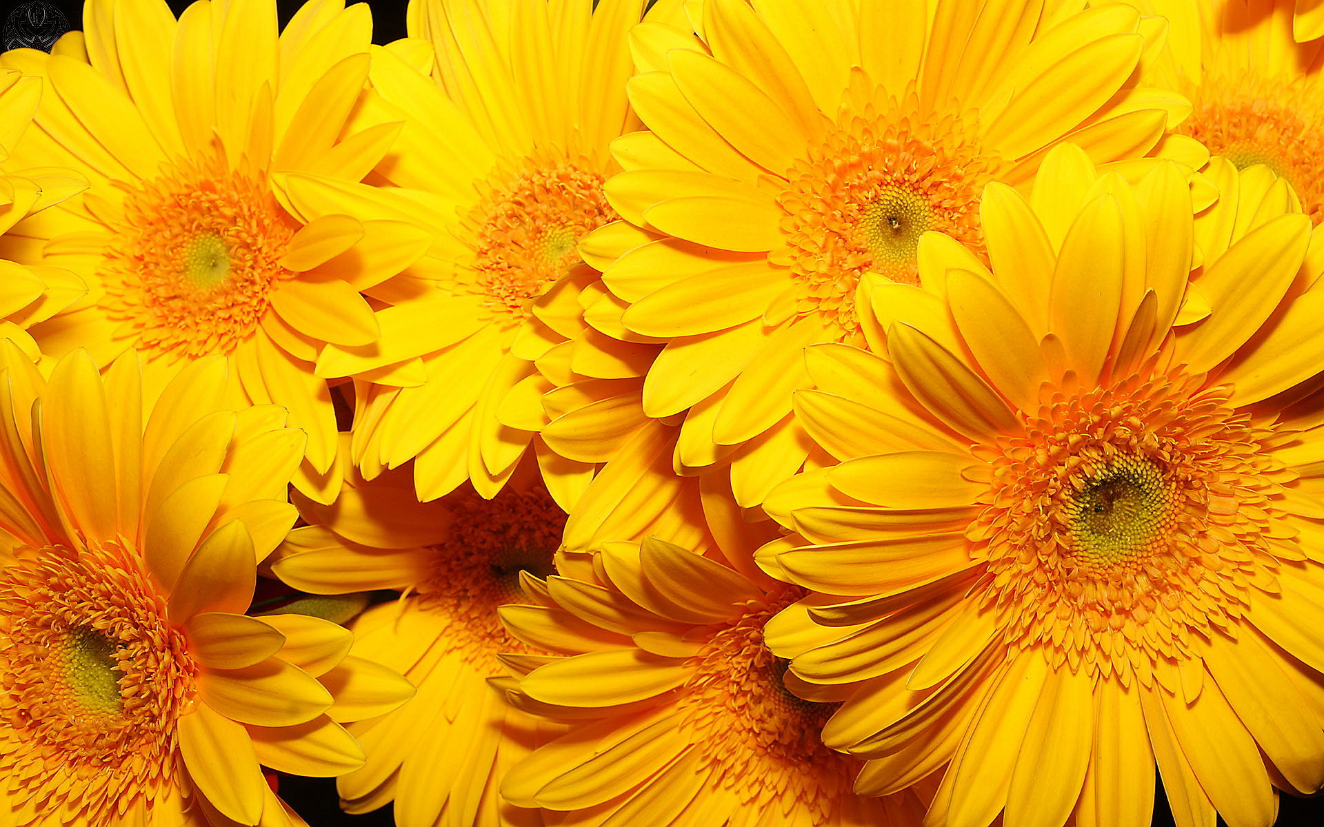 Yellow flowers image black and white stock Yellow flowers hd Wallpapers | Pictures black and white stock