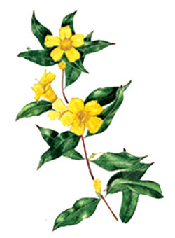 Yellow jasmine clipart graphic royalty free Palogard technical specifications. graphic royalty free