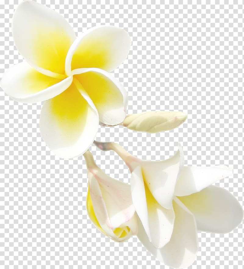 Yellow jasmine clipart jpg black and white White-and-yellow plumeria flowers illustration, Flower ... jpg black and white