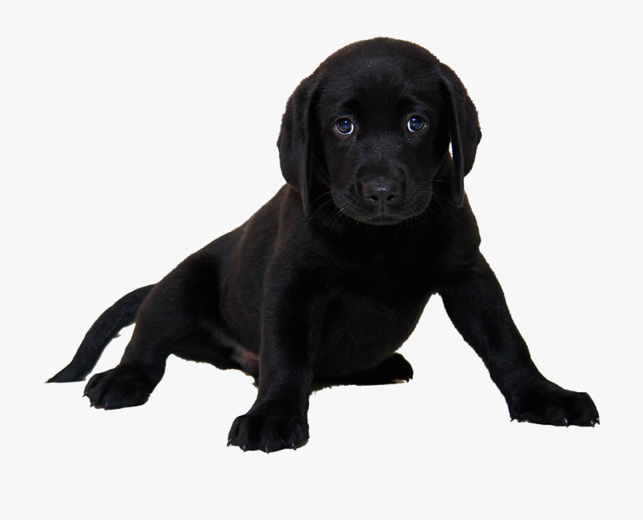 Labrador retriever clipart black white free clip art black and white Isolated, Labrador, Dog, Animal - Black Lab Puppy White ... clip art black and white