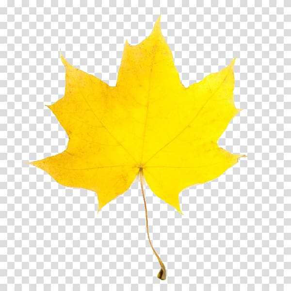 Yellow leaves clipart clip art royalty free stock Leaf Yellow Maple Autumn , Fall Leaves transparent ... clip art royalty free stock