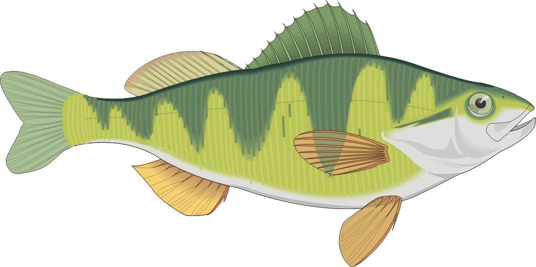 Yellow perch clipart picture royalty free Free Perch Cliparts, Download Free Clip Art, Free Clip Art ... picture royalty free