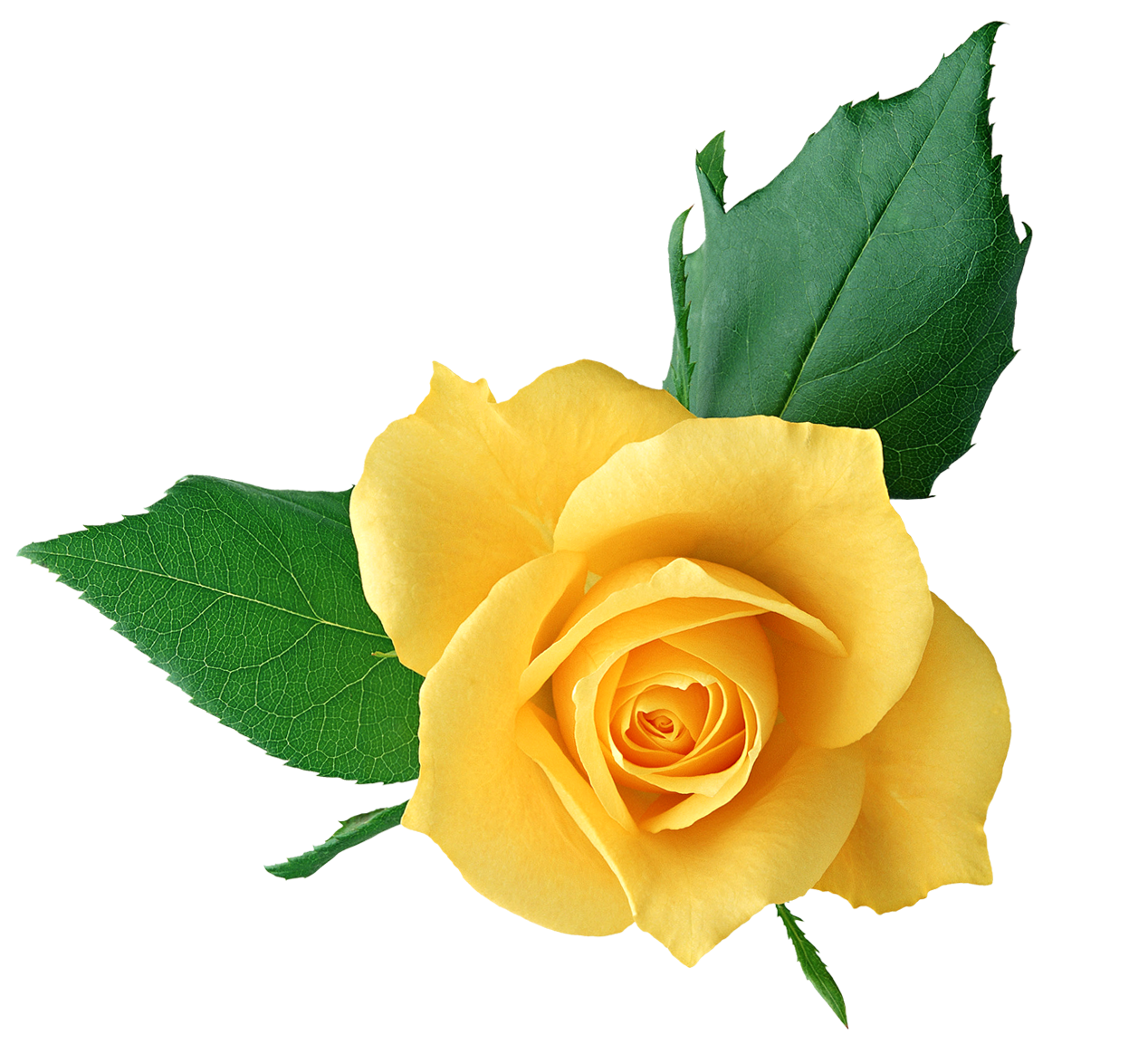 Yellow rose clipart png picture freeuse Yellow Rose PNG Transparent Picture | Gallery Yopriceville ... picture freeuse