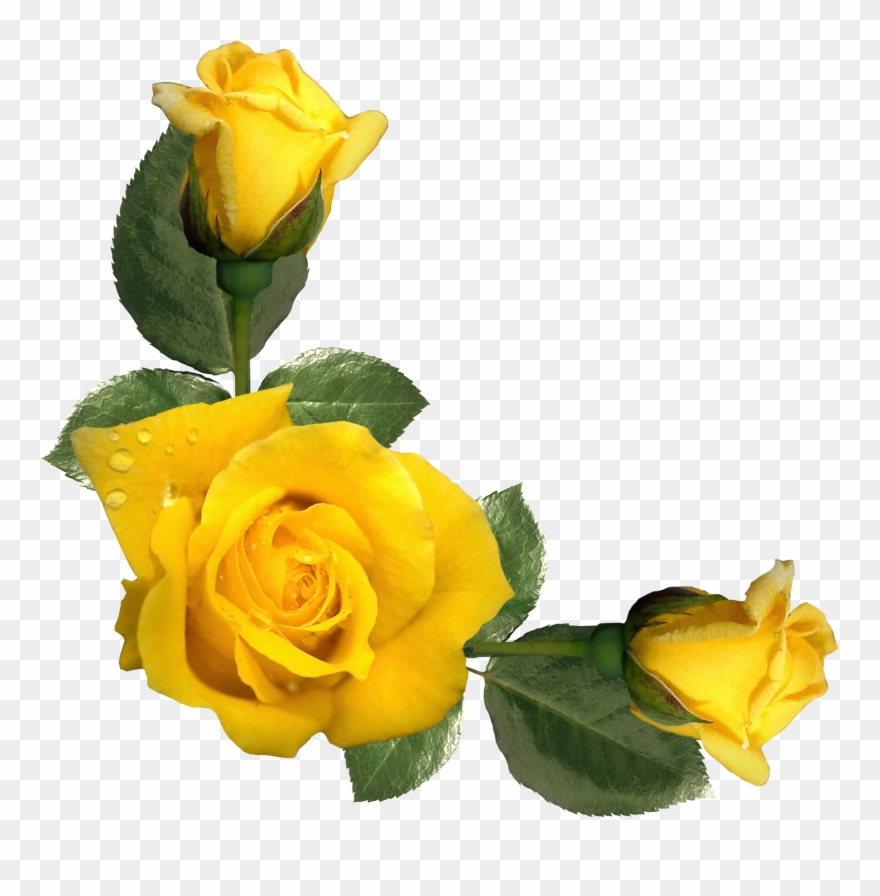 Yellow rose clipart png banner freeuse download Yellow Roses Clipart - Yellow Rose Border Clipart - Png ... banner freeuse download