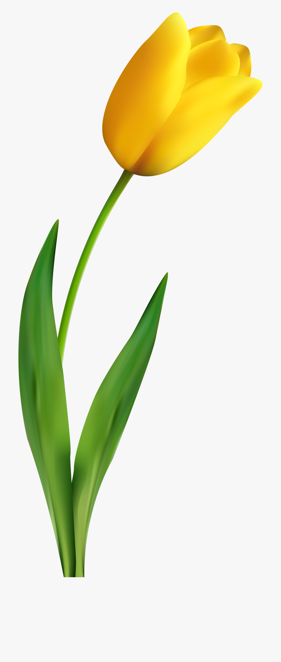 Yellow tulip clipart flower picture transparent A Yellow Tulip, Tulips, Flowers Png Image And Clipart ... picture transparent