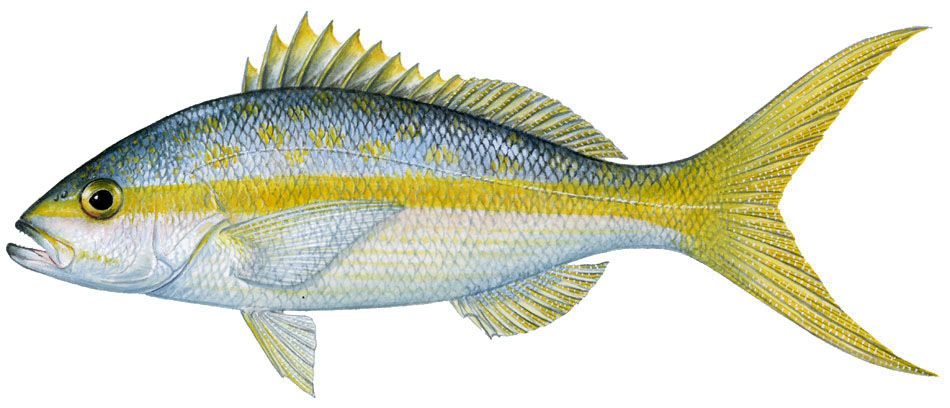 Yellowtail clipart jpg transparent stock Pin by Irene Marcus on Fauna | Fish jpg transparent stock