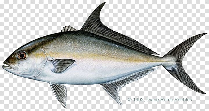 Yellowtail clipart svg black and white stock Almaco jack Yellowtail amberjack Bar jack Greater amberjack ... svg black and white stock