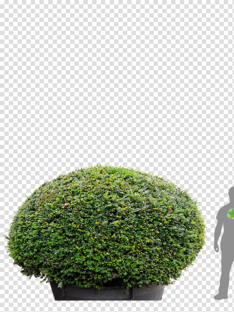 Yew shrub clipart vector free library English Yew Tree Conifers Hedge Evergreen, transparent ... vector free library