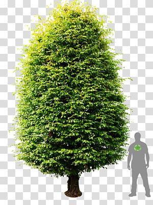 Yew shrub clipart clip art Shrub Tree , tree transparent background PNG clipart | PNGGuru clip art