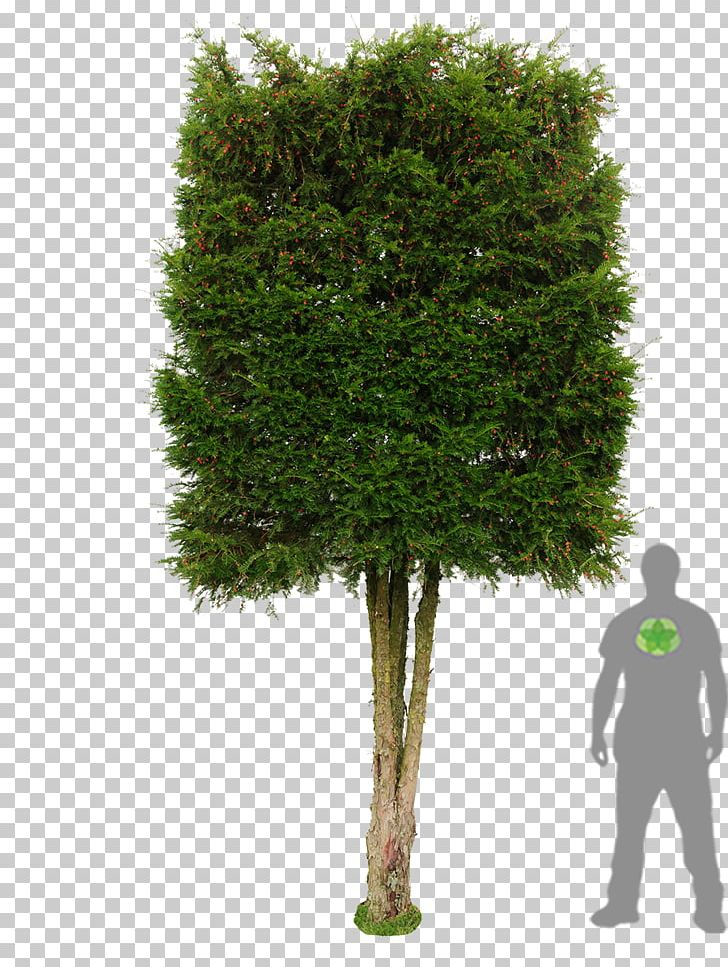 Yew shrub clipart free download Tree English Yew Photinia Hedge Evergreen PNG, Clipart ... free download