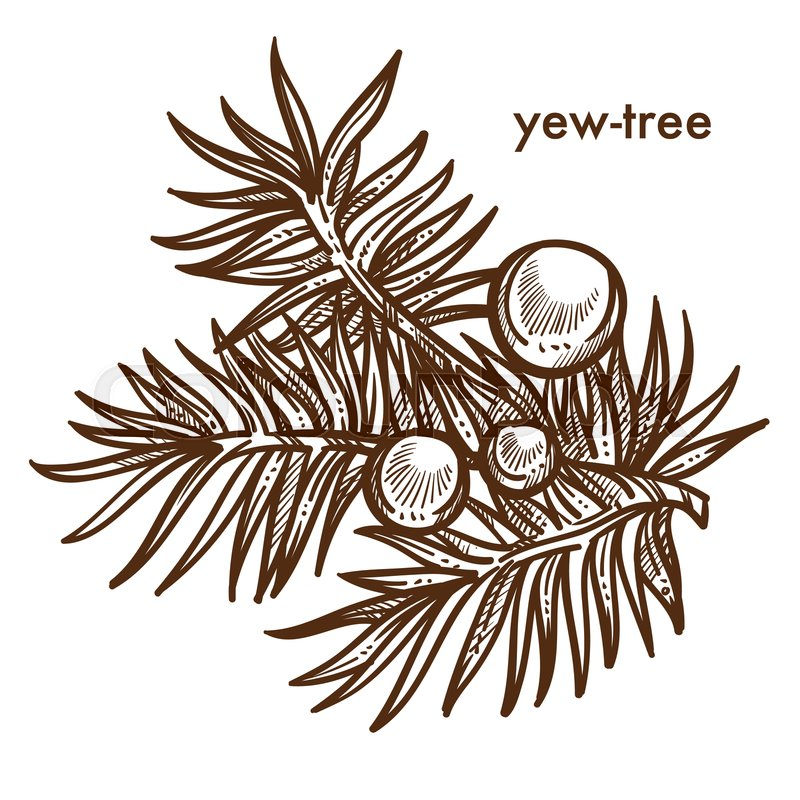 Yew shrub clipart graphic royalty free library Yew-tree branch of tree with berries, ... | Stock vector ... graphic royalty free library
