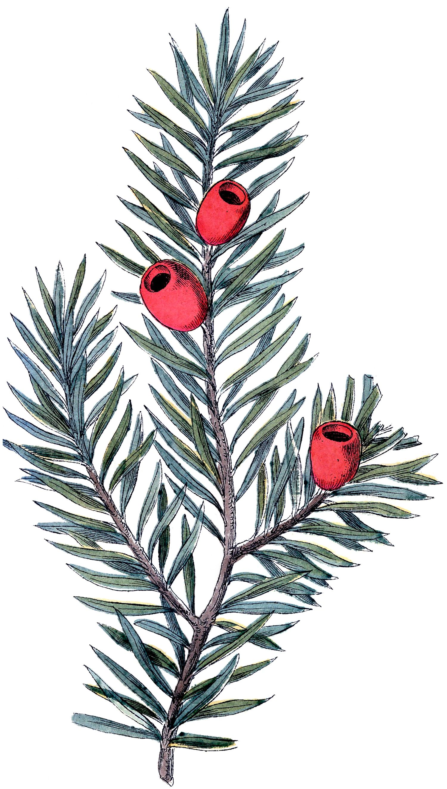 Yew shrub clipart png free download Holiday Branch Image - Yew | silhouettes | Christmas labels ... png free download