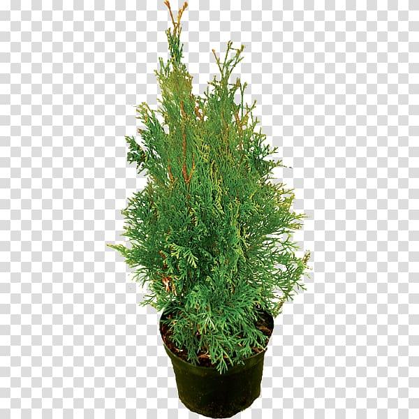 Yew shrub clipart graphic transparent Spruce Juniperus chinensis English Yew Evergreen Shrub, tree ... graphic transparent