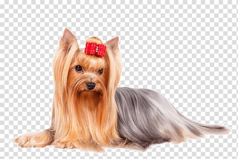 Yorkie clipart long hair transparent stock Yorkshire Terrier Italian Greyhound Finnish Spitz Poodle ... transparent stock