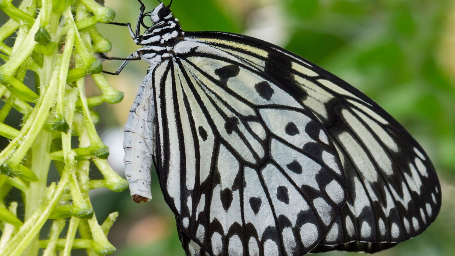 Young parents butterfly clipart picture 10 Fascinating Facts About Butterflies picture