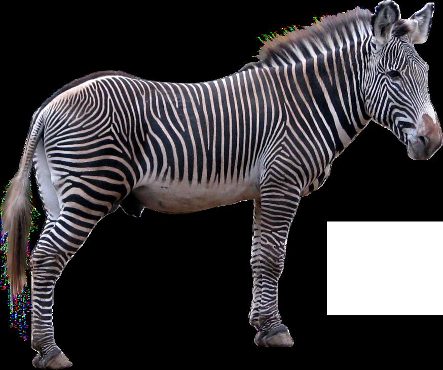 Zebra feet clipart clip free Zebra Technologies Clip art - zebra png download - 874*730 ... clip free