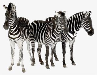 Zebra herd clipart graphic transparent stock Zebra PNG, Transparent Zebra PNG Image Free Download - PNGkey graphic transparent stock