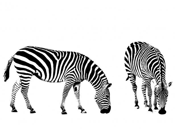 Zebra herd clipart clip transparent stock Zebra Illustration Clipart Free Stock Photo - Public Domain ... clip transparent stock