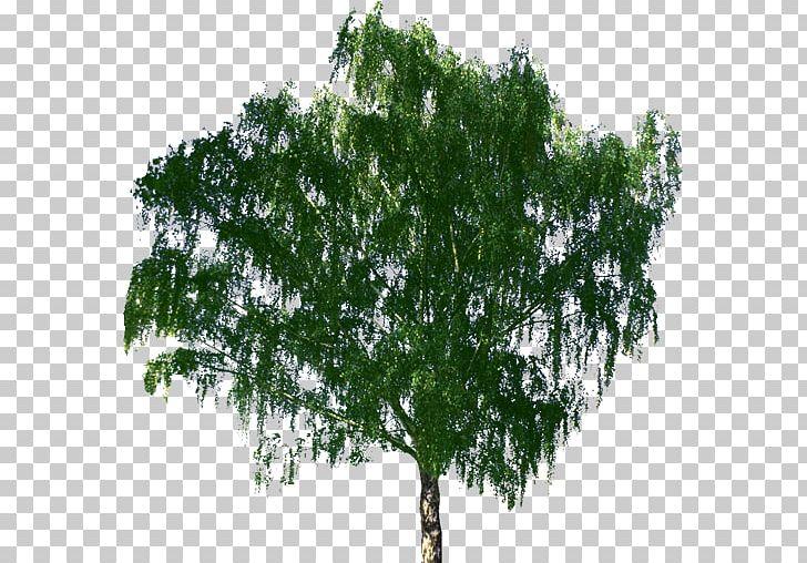 Zelkova serrata clipart png black and white download Tree Bonsai Zelkova Serrata Birch PNG, Clipart, Agac, Arbol ... png black and white download