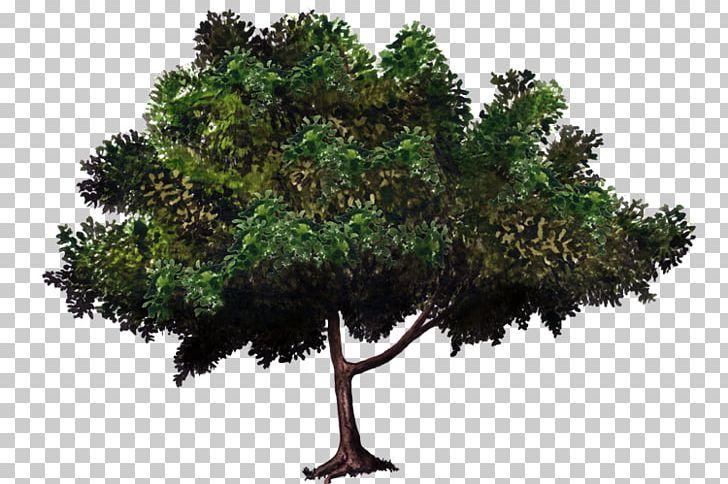 Zelkova serrata clipart vector freeuse library Zelkova Serrata Tree Bonsai Evergreen Woody Plant PNG ... vector freeuse library