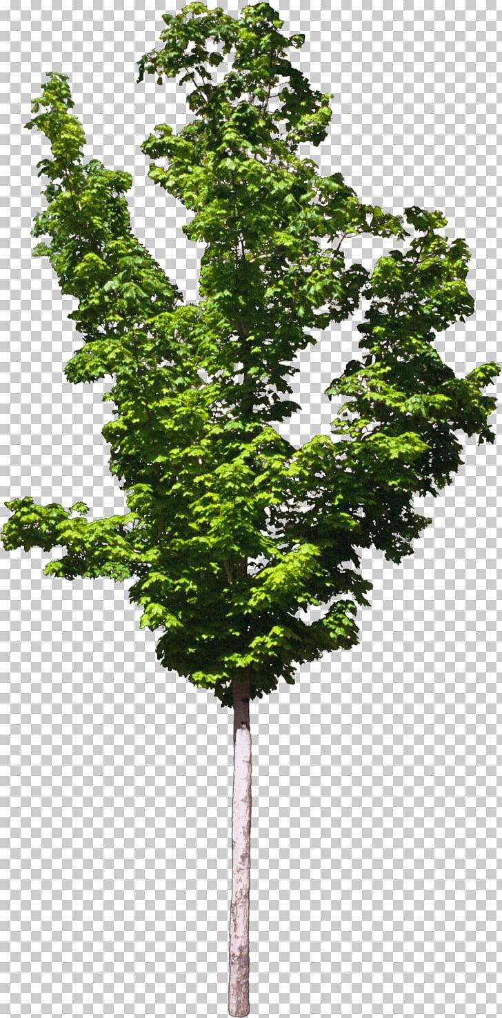 Zelkova serrata clipart clipart transparent download Zelkova serrata Tree Plant Bonsai, bushes PNG clipart   free ... clipart transparent download