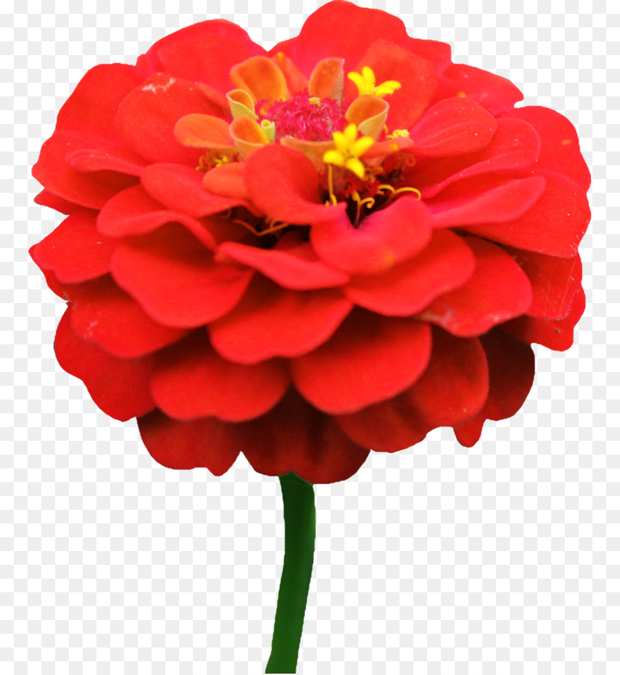 Zinnia clipart picture royalty free download Flowers Clipart Background png download - 817*978 - Free ... picture royalty free download