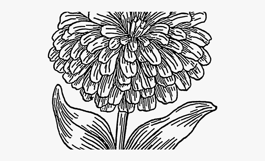 Zinnia clipart black and white library Marigold Clipart Draw - Zinnia Clipart #418104 - Free ... black and white library