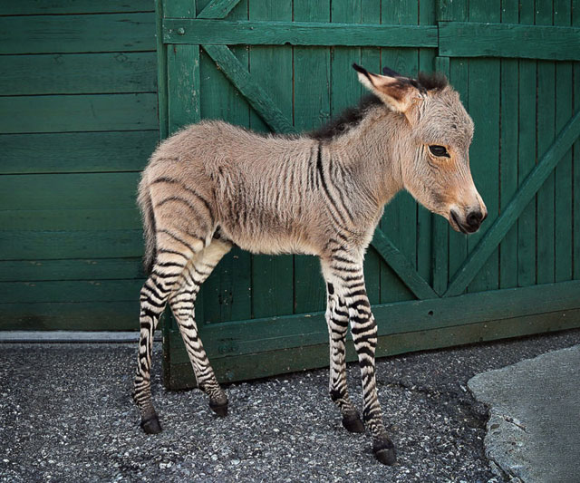 Zonkey clipart image library library Meet Ippo, The Adorable Zonkey Who is Half Zebra, Half ... image library library