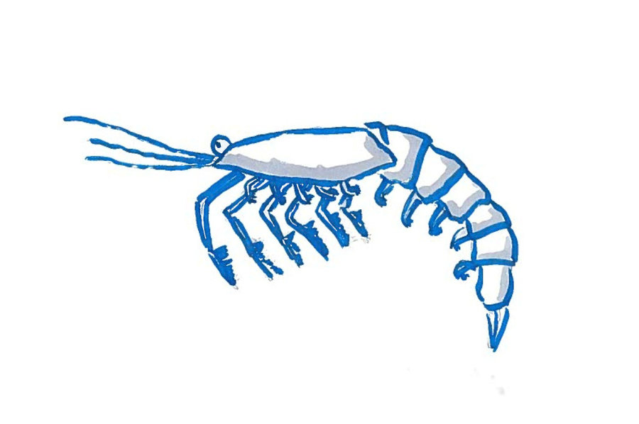 Zooplankton drawings clipart banner free library Zooplankton Drawing | Free download best Zooplankton Drawing ... banner free library